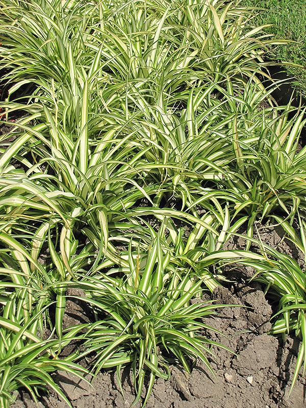 variegated spider plant chlorophytum