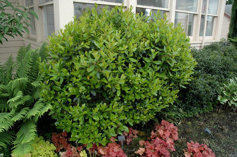 Dwarf Strawberry Tree Arbutus Unedo Compacta In Issaquah Seattle Bellevue Redmond Renton