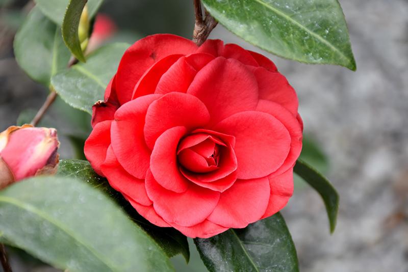 Tom Knudsen Camellia Camellia Japonica Tom Knudsen In