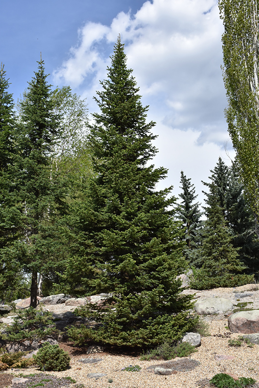 alpine fir abies lasiocarpa