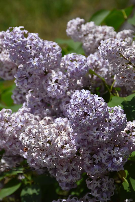 Lavender Lady Lilac Syringa Vulgaris Lavender Lady In
