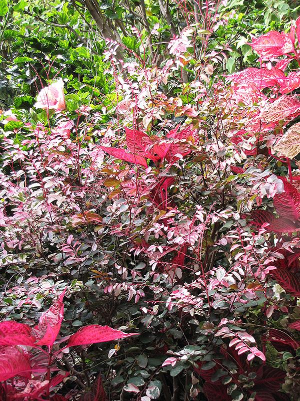 Red Leaved Snow Bush Breynia Disticha Roseopicta In Denver Centennial Littleton Aurora