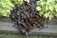 Carpet Bugleweed | Taraba Home Review