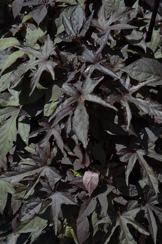 Bright Ideas Black Sweet Potato Vine Ipomoea Batatas