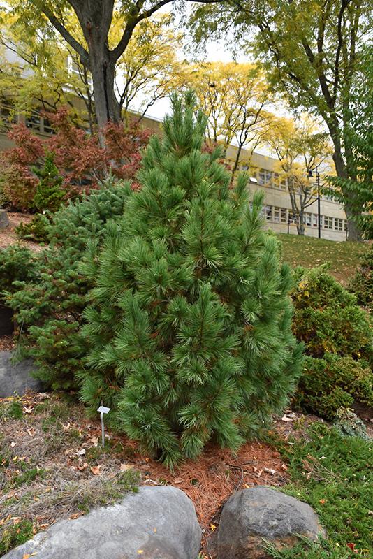 Pygmy Swiss Stone Pine Pinus Cembra Pygmaea In Boston