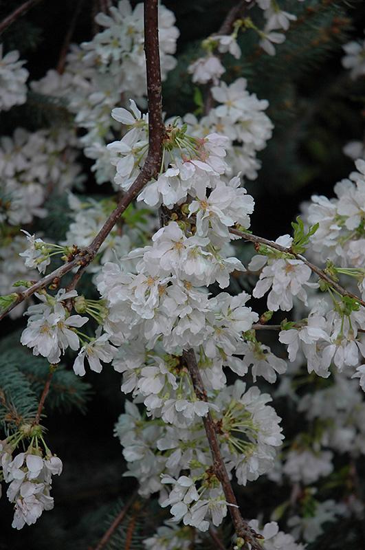 White Fountain Weeping Cherry (Prunus 'White Fountain') in