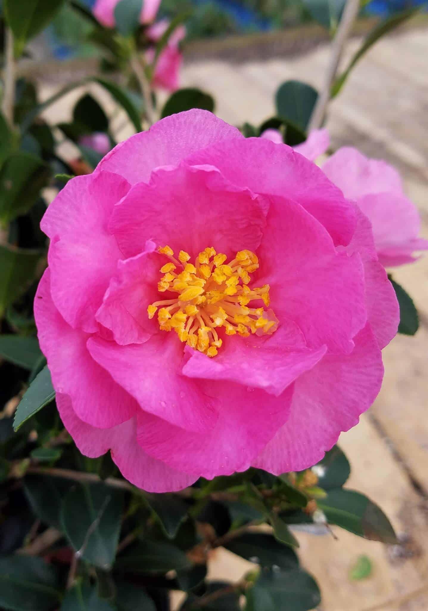 stephanie golden camellia sasanqua