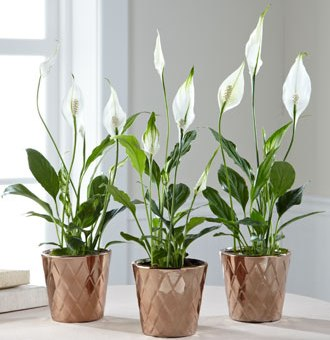 Plant of the Month: Peace Lily (Spathiphyllum):