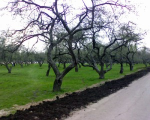 An apple orchard in winter