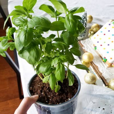 Grow Basil Indoors for Winter