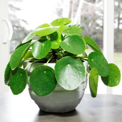 Pilea Peperomioides are Irresistible Charmers