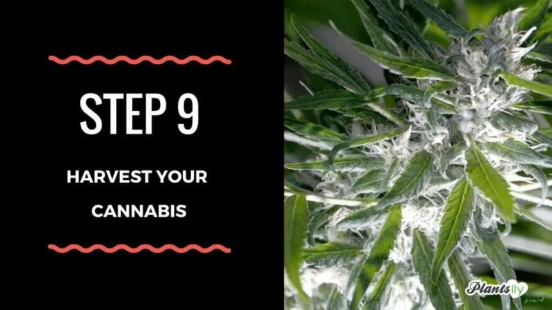 harvest your cannabis