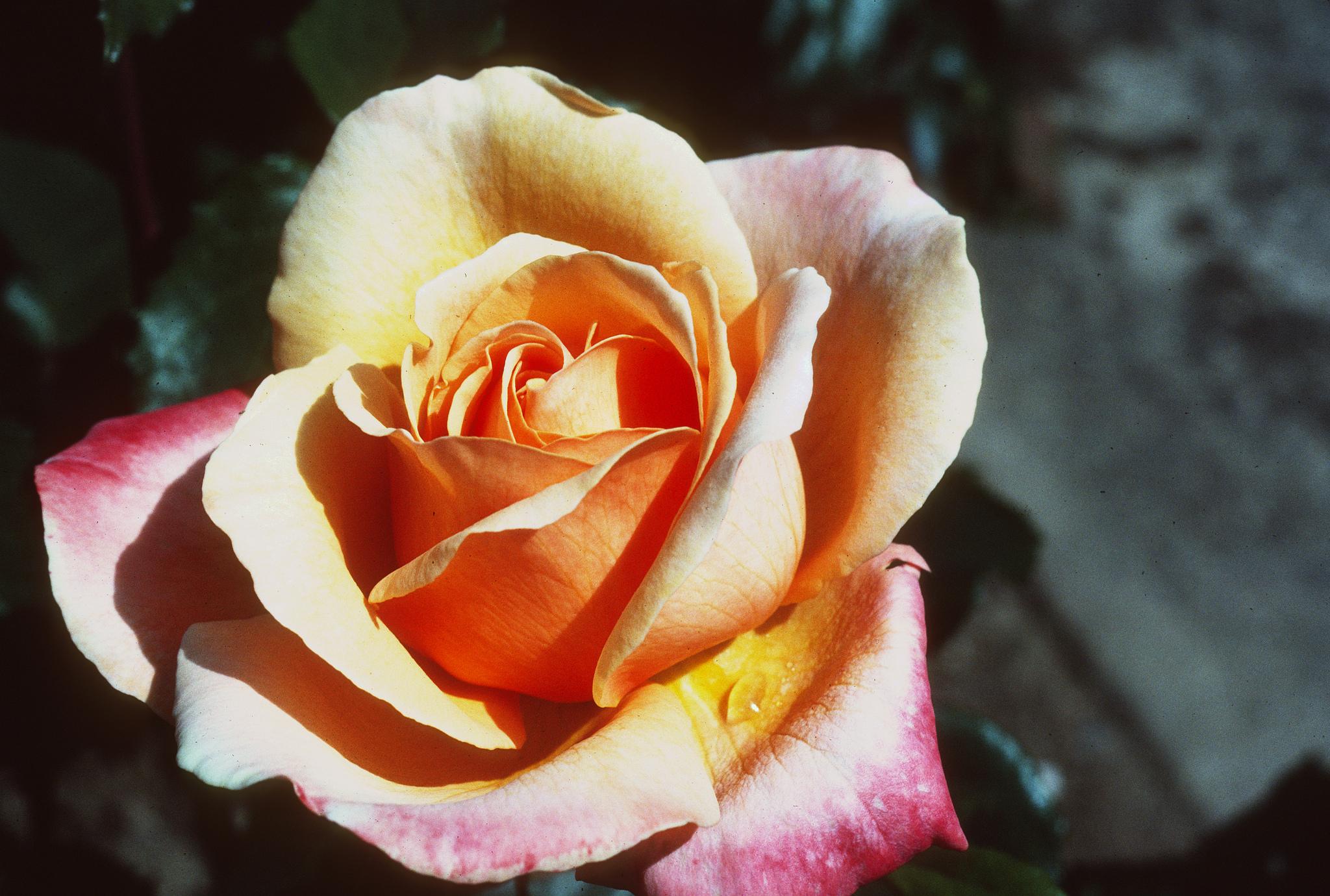 Cómo usar la sal de Epsom para rosas más brillantes y más hermosas