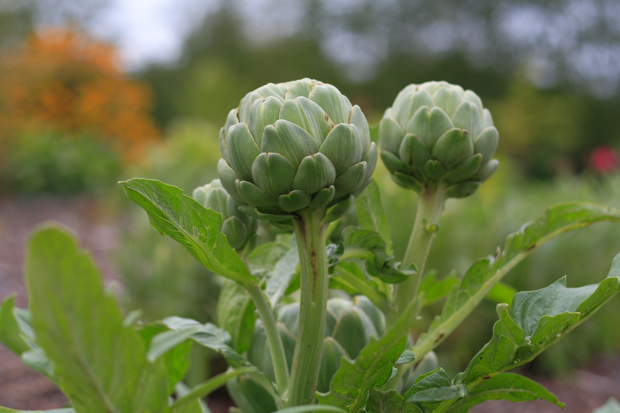 Growing artichokes: Peeling off the mystery
