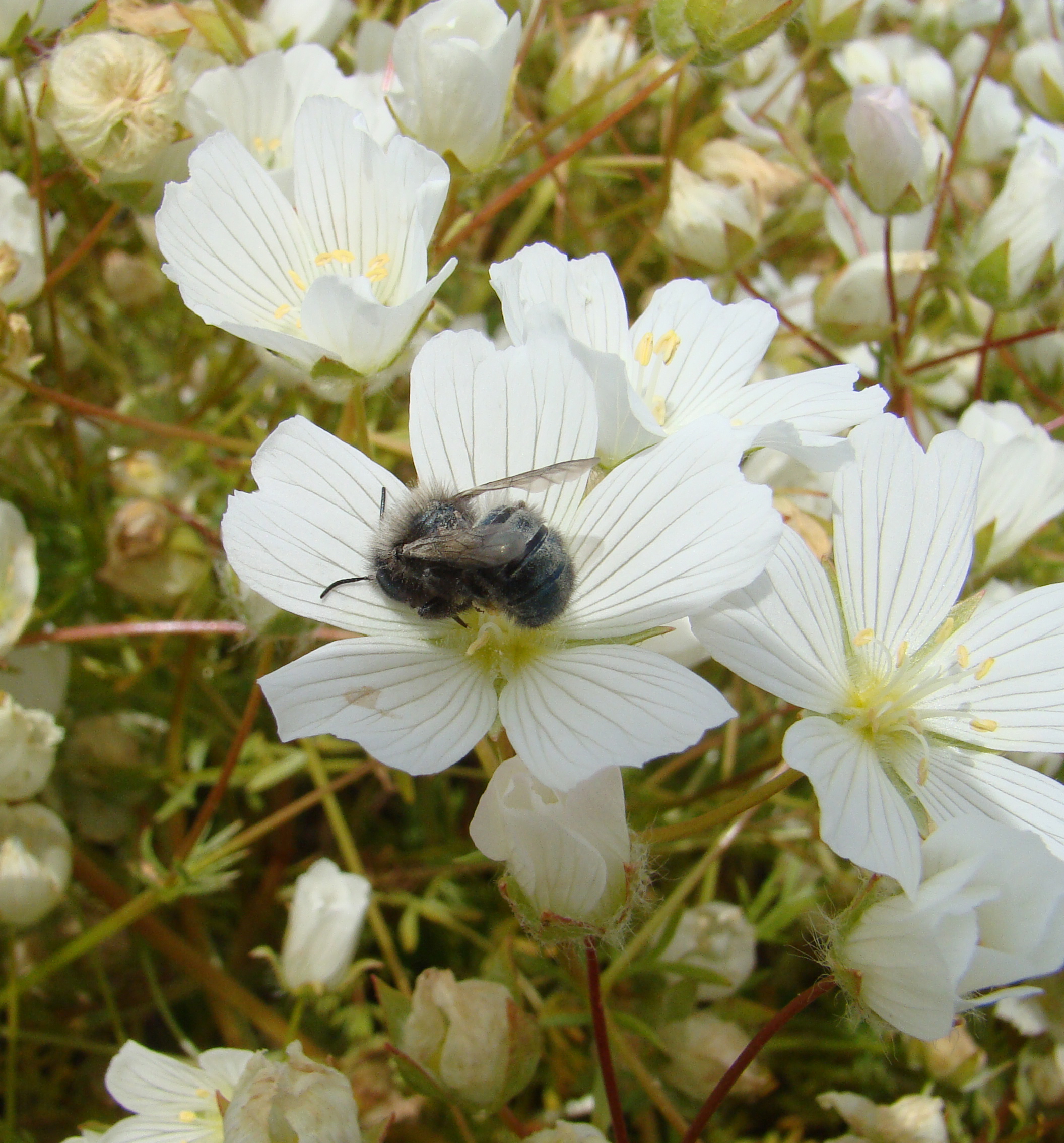 Mason bees and fruit trees share a two-way street