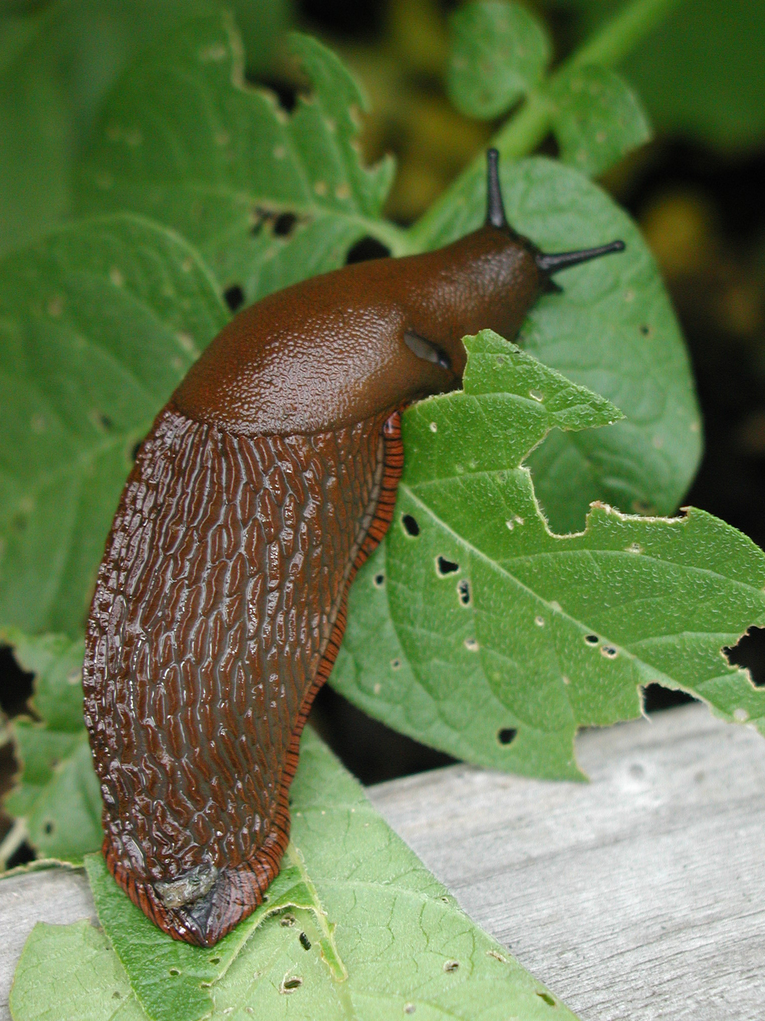 Slinky, slimy slugs on the loose and chomping through gardens