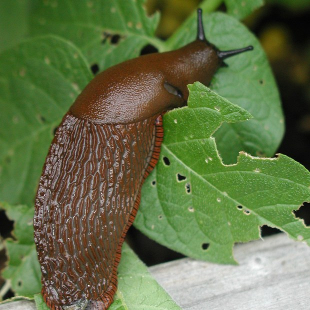 Slinky, slimy slugs on the loose and chomping through gardens