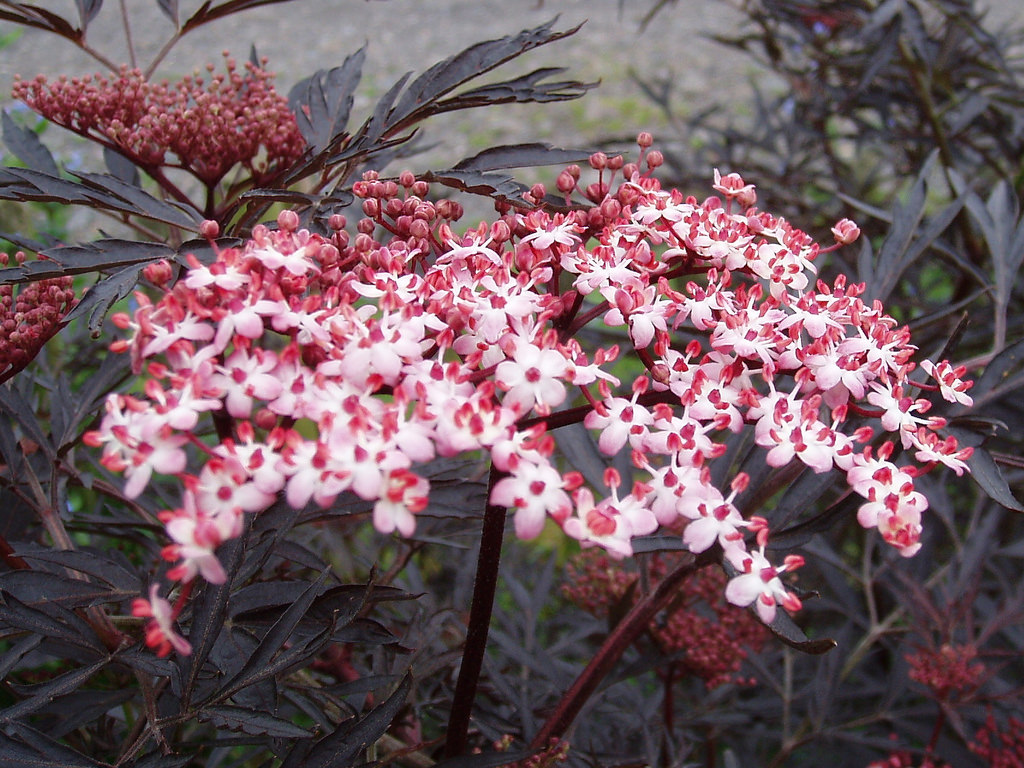 Give the garden a facelift with 6 shrubs sporting dramatic foliage