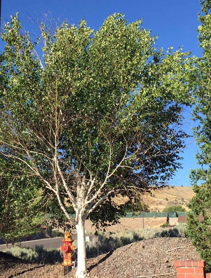 Serious pest targets popular white-bark birch trees