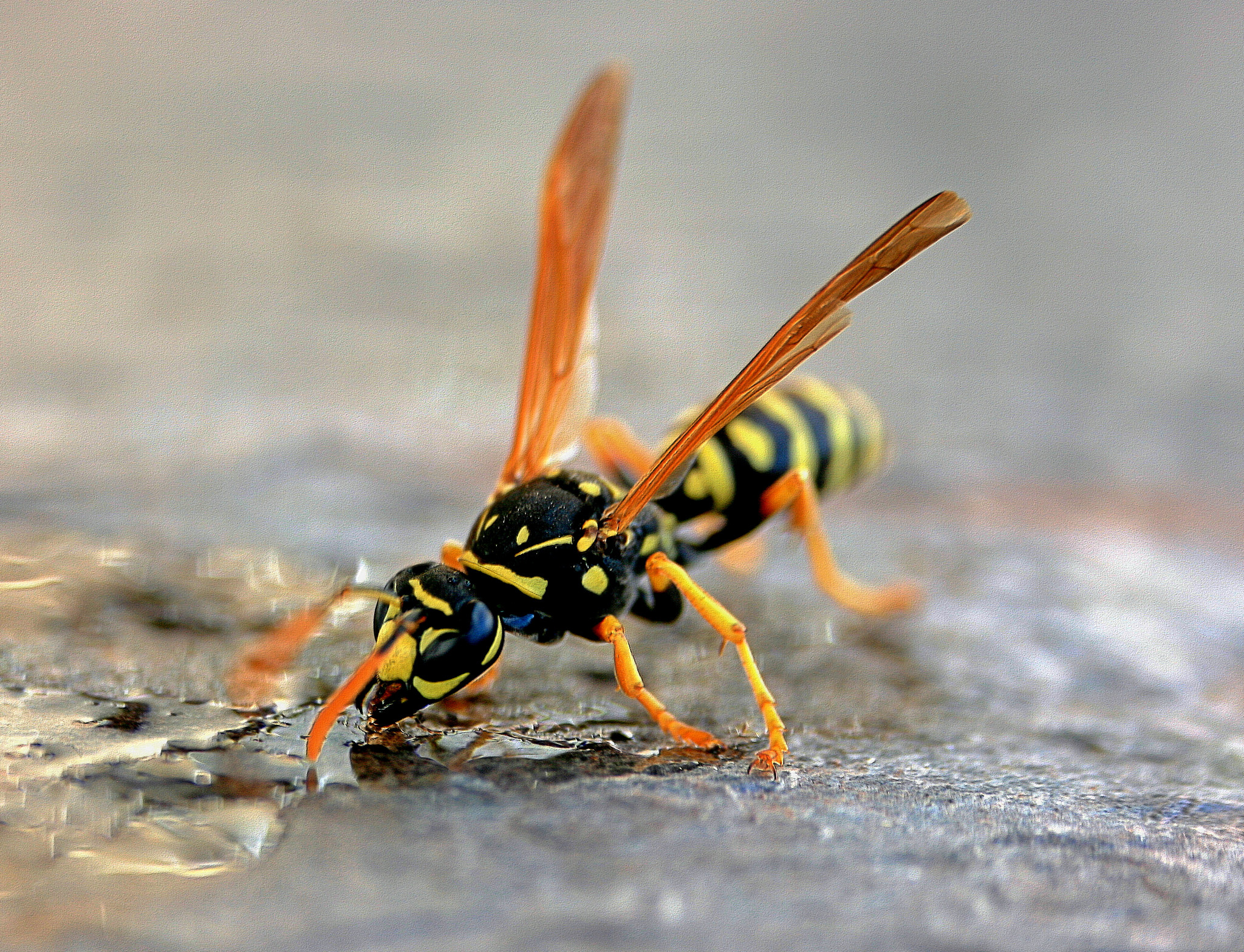 Drought driving more yellowjackets into backyards this year