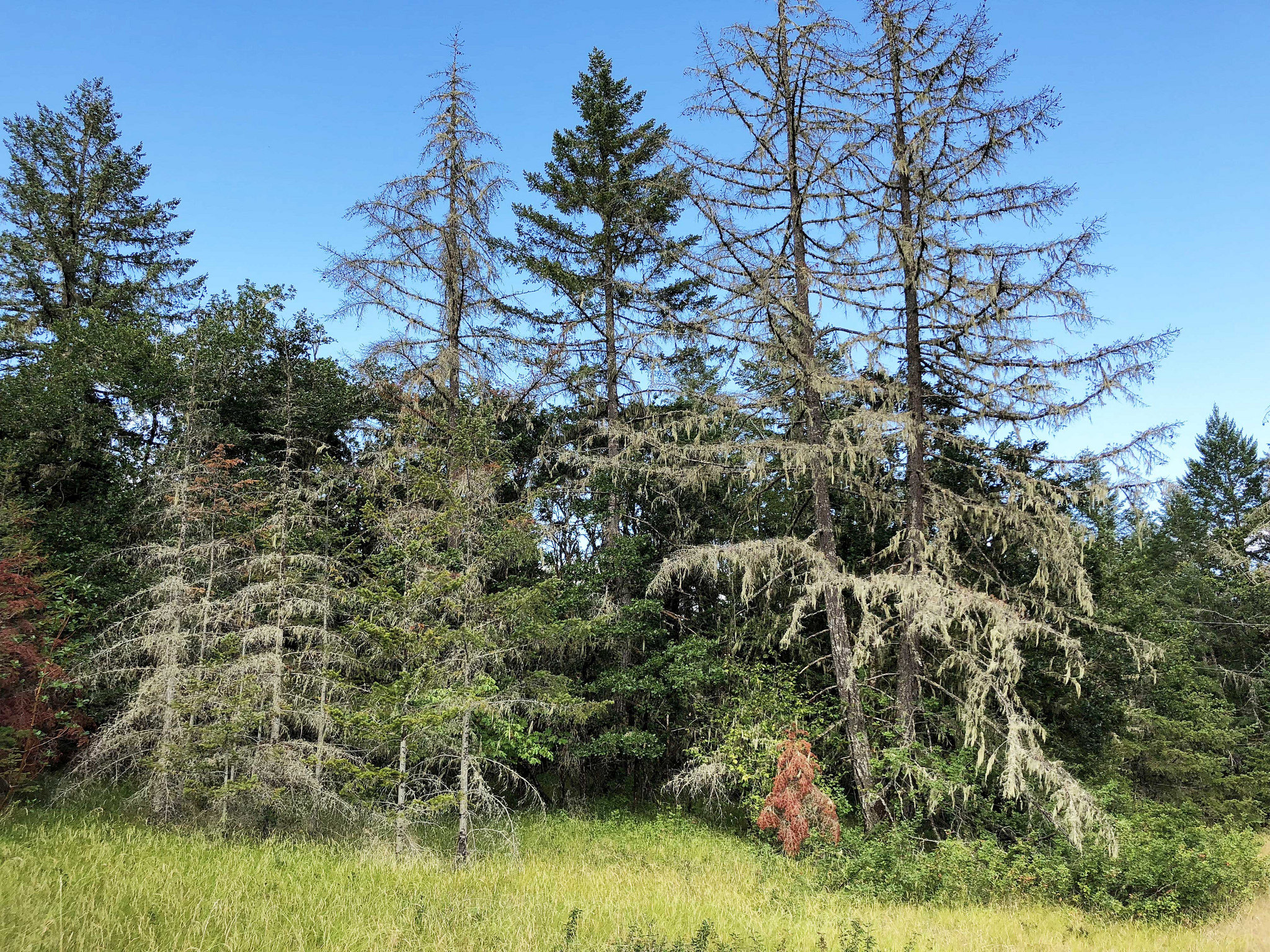 Conifers – especially Doug-firs – are suffering from drought