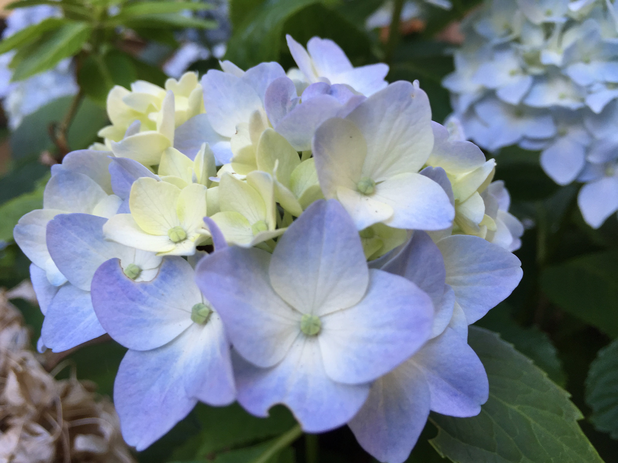 Hydrangeas play a pretty role in the garden