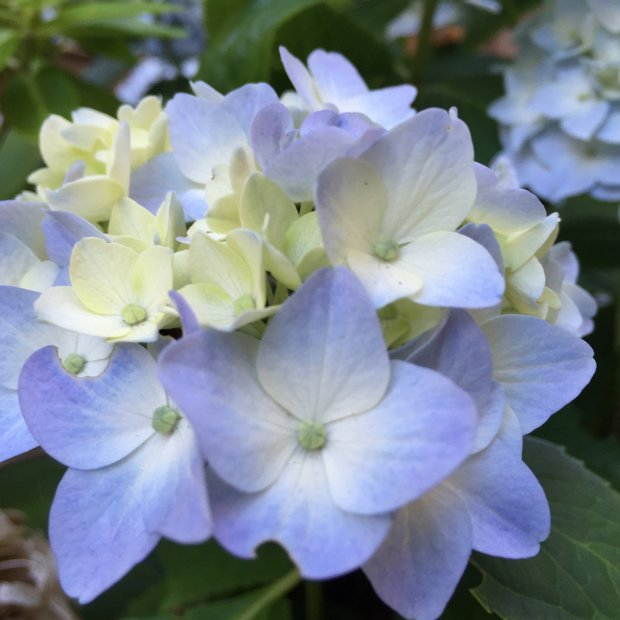 Hydrangeas play a pretty role in the garden