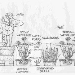 Lotus In Water Plant Diagram Echo Chainsaw Parts Plants Flowers Rooted Floating