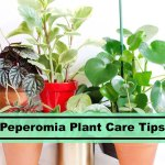 Peperomia Plant Guide Learn To Take Care Peperomia Houseplants Plants Spark Joy