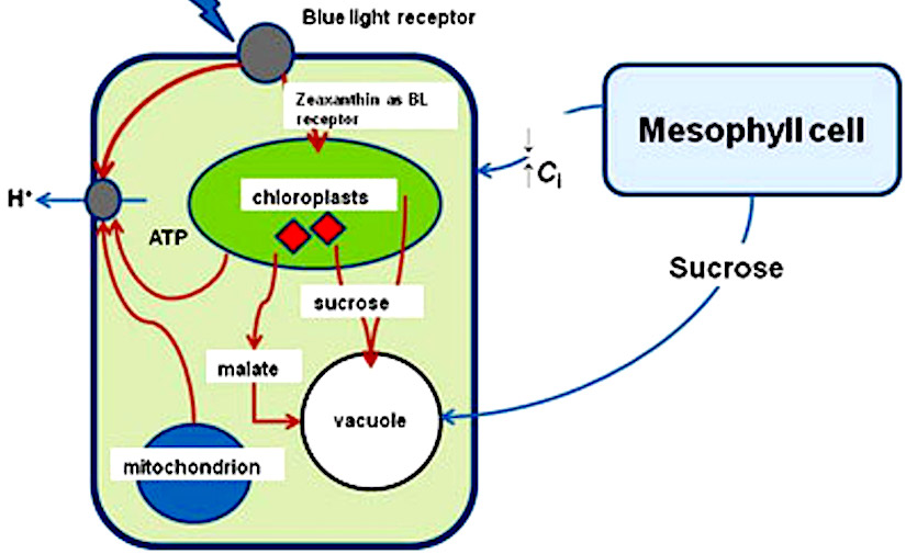 mesophyll cell diagram jvc kd r330 car stereo wiring characteristics of guard chloroplasts and their possible functions in stomata behavior