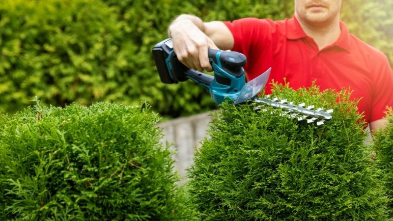 landscaping service hedging a shrub