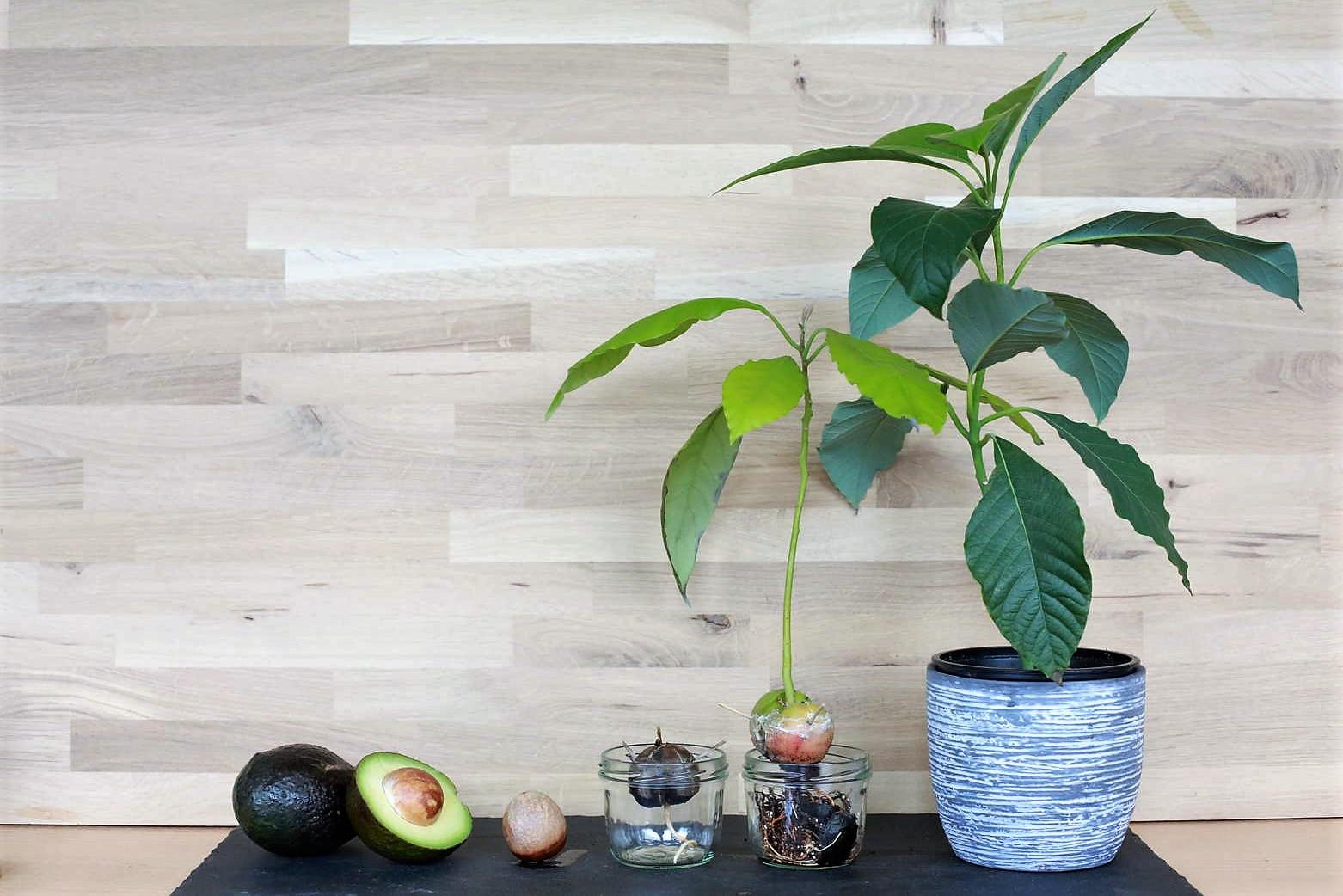 avocado pflanze pflege geduld bringt rosen. Black Bedroom Furniture Sets. Home Design Ideas