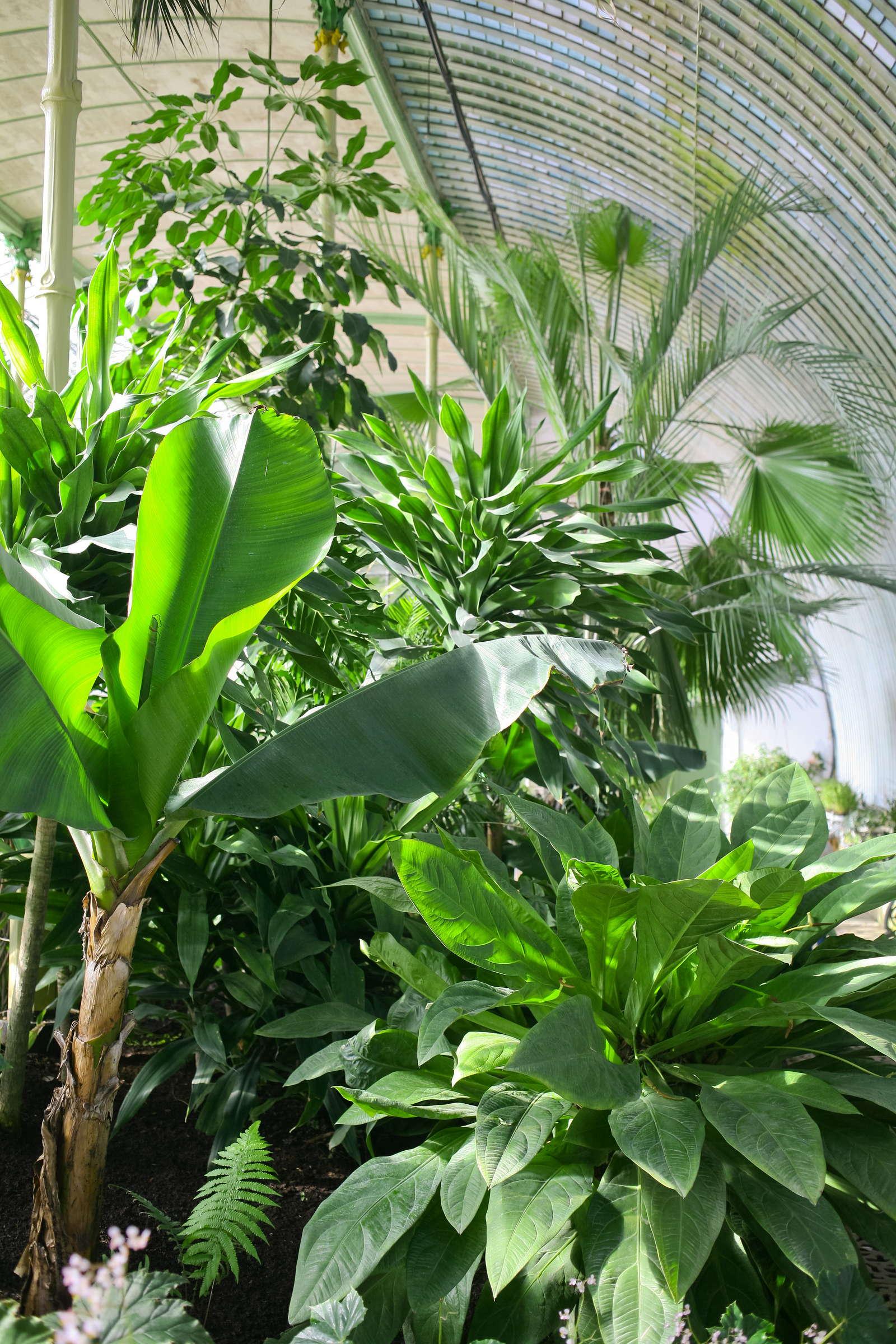bananenbaum pflanzen bananenpflanze im eigenen garten pflanzen pflegen plantura. Black Bedroom Furniture Sets. Home Design Ideas