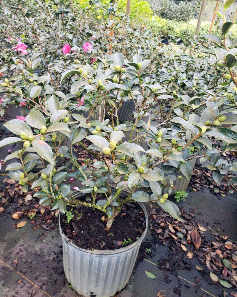 Snow On The Mountain Camellia : mountain, camellia, Camellia, Sasanqua, 'Mine-no-Yuki',, 'Snow, Mountain', Shipping