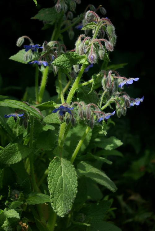 Plant Whatever Brings You Joy  Borage