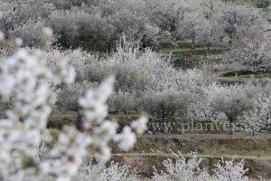 cerezo-en-flor-valle-del-jerte