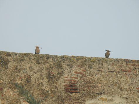 Abubillas alcazaba Badajoz PlanVE Extremadura