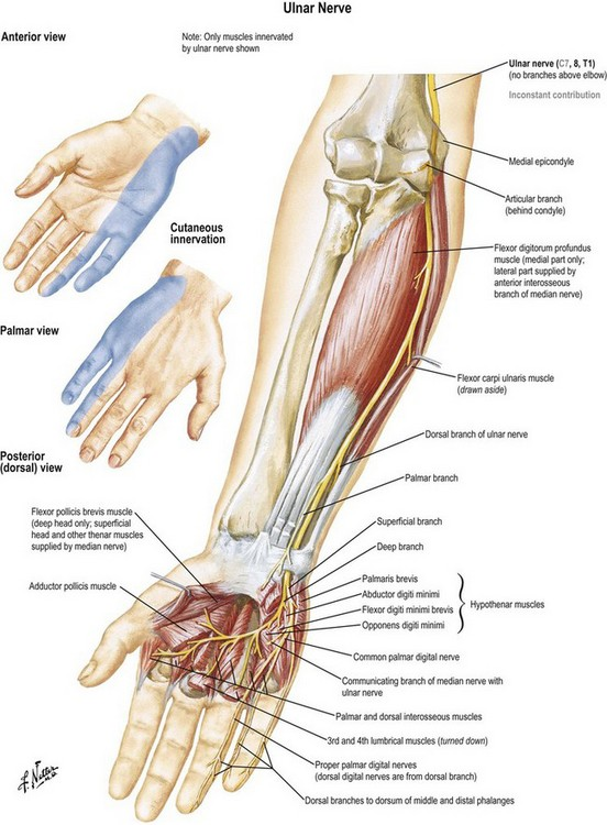 Anatomy and biomechanics of the hand | Plastic Surgery Key