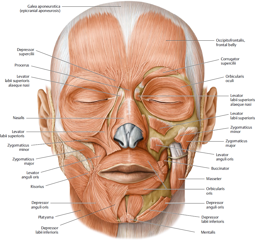 muscles of facial expression diagram xtrons pf81mtv wiring mimetic plastic surgery key