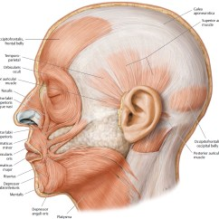 Muscles Of Facial Expression Diagram Eclipse Sequence From Code Mimetic Plastic Surgery Key