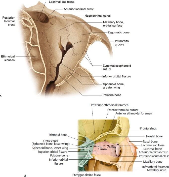 orbital floor anatomy   Wikizie.co