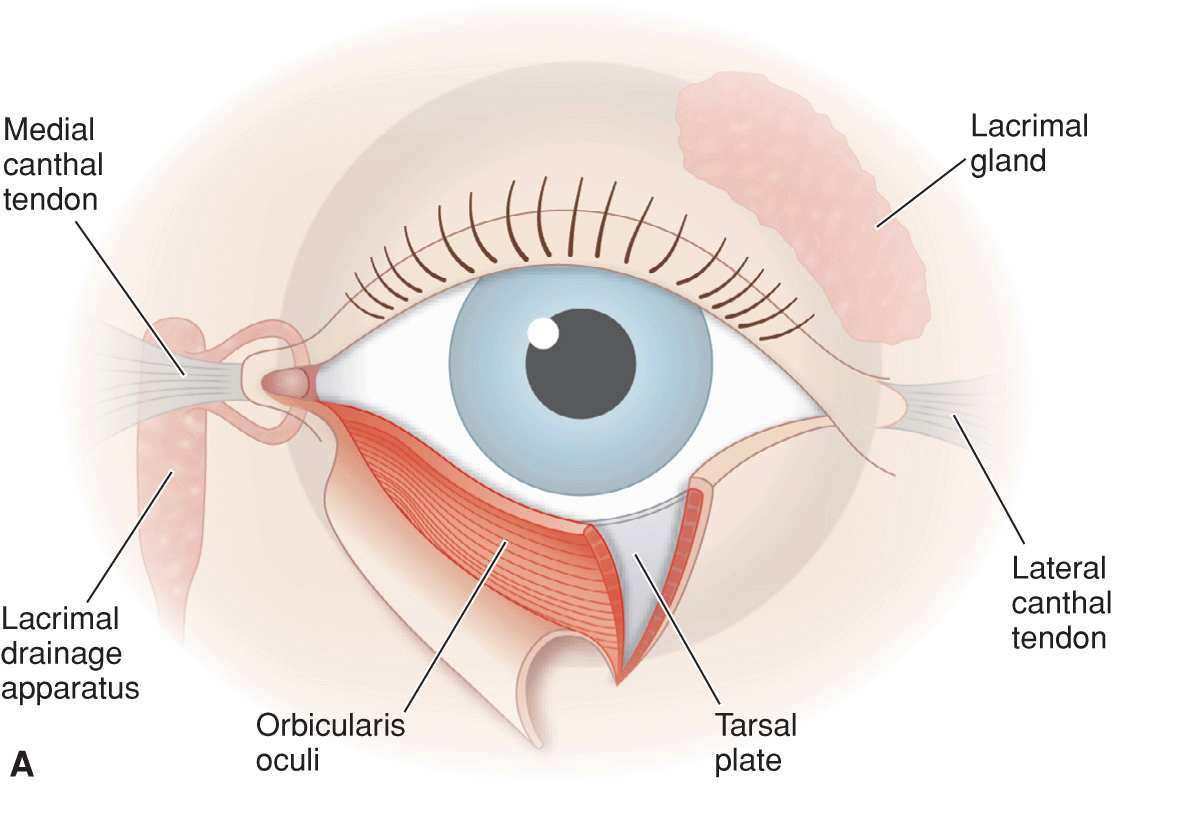 parts of the eyelid diagram pioneer fh x730 bt scientific truth behind closing eyes when you sneeze