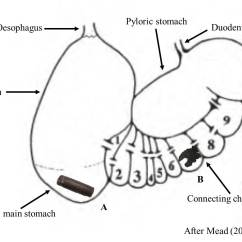 Whale Digestive System Diagram Jvc Head Unit Wiring Micro And Macroplastic Ingestion By Marine Mammals