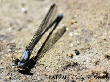 Dragonflies (11)