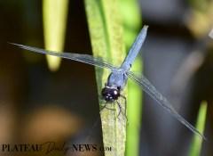 Dragonflies (6)