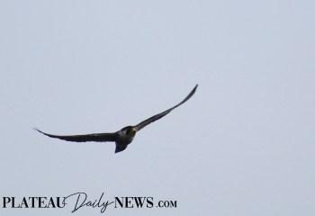 Falcon (2)