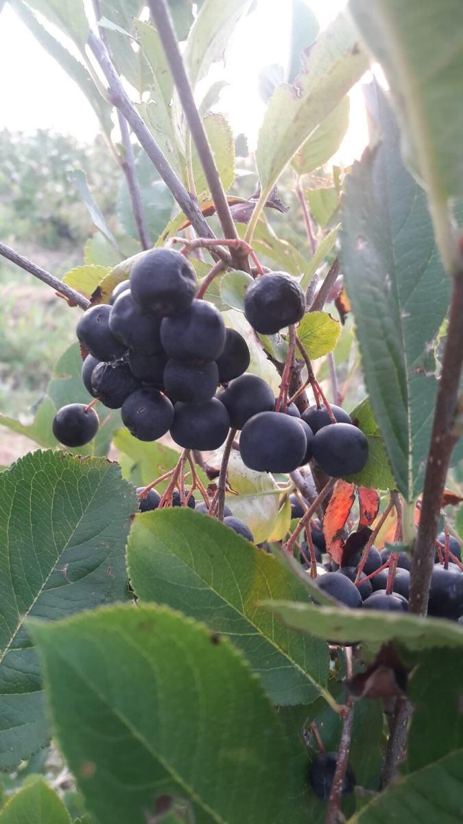 Aronia bio Sana plant extract, plantatie lavanda, mur, soc si aronia, sucuri naturale (7)