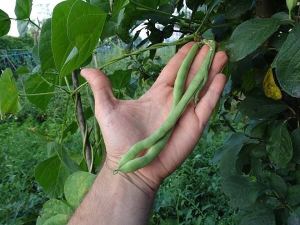 fasole-verde-urcatoare-din-ograda-lui-luca