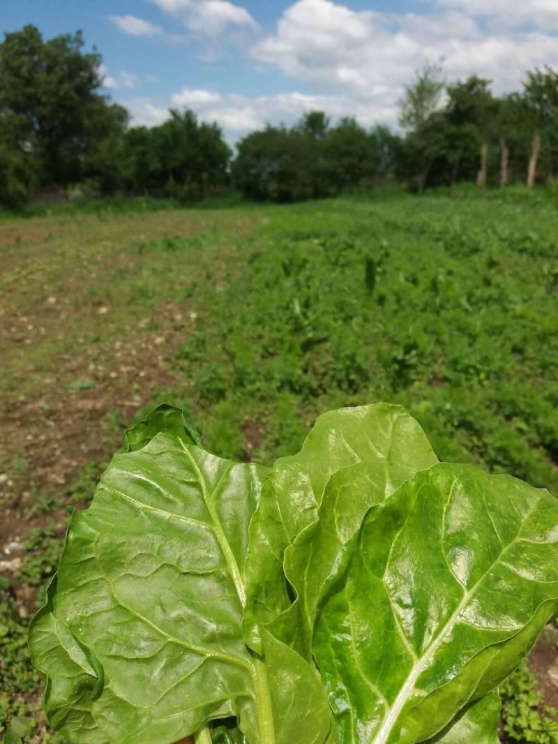 In vizita la gradina La Borcan din Vad, judetul Brasov, legume romanesti, verdeturi proaspete, crescute local (14)