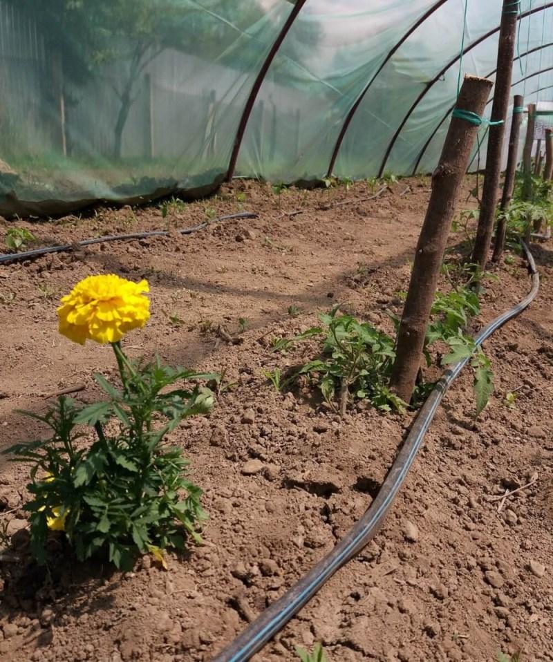 In vizita la gradina La Borcan din Vad, judetul Brasov, legume romanesti, verdeturi proaspete, crescute local (2)